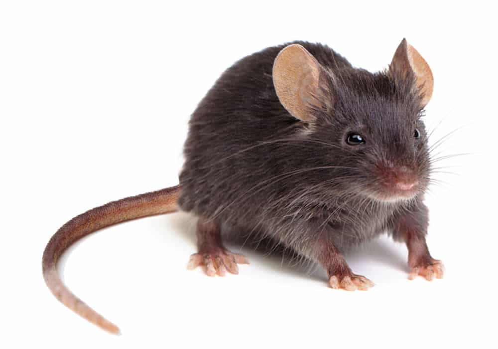 Mice & Rat Pest Control